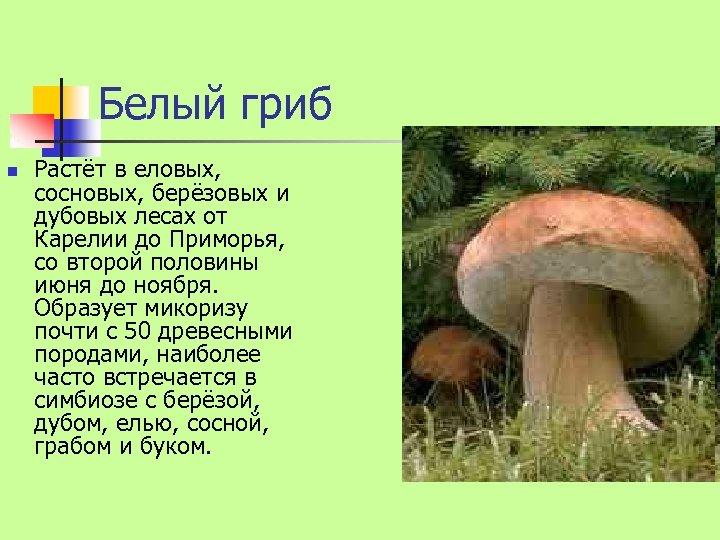 Белый гриб n Растёт в еловых, сосновых, берёзовых и дубовых лесах от Карелии до