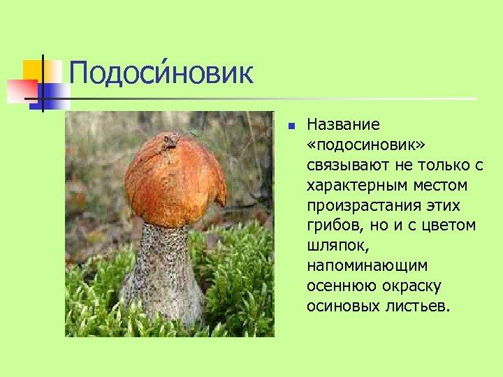 Подоси новик n Название «подосиновик» связывают не только с характерным местом произрастания этих грибов,