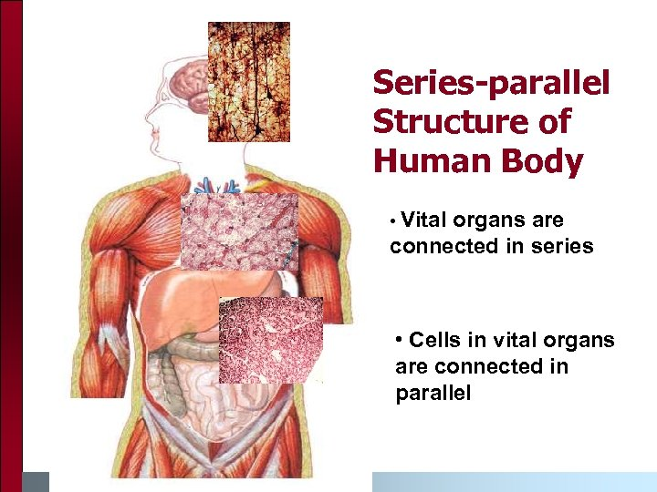 Series-parallel Structure of Human Body • Vital organs are connected in series • Cells