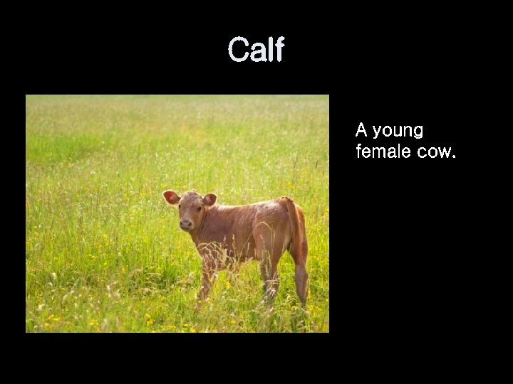 Calf A young female cow.
