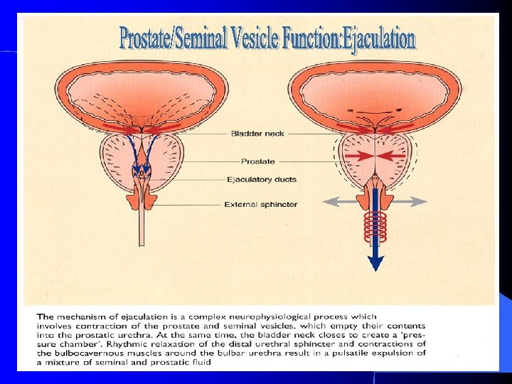 Prostate And Seminal Vesicle Normal Development Function Surgical
