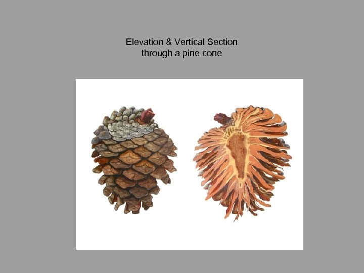 Elevation & Vertical Section through a pine cone