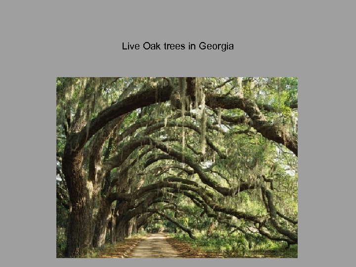 Live Oak trees in Georgia