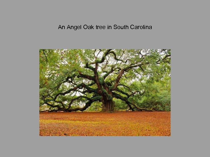 An Angel Oak tree in South Carolina