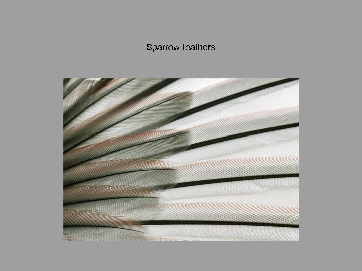 Sparrow feathers