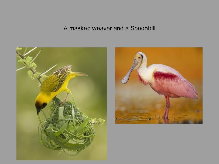 A masked weaver and a Spoonbill