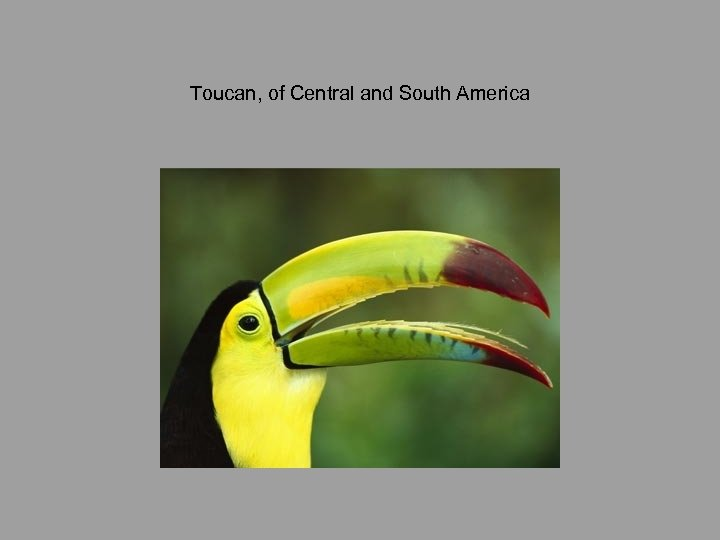 Toucan, of Central and South America