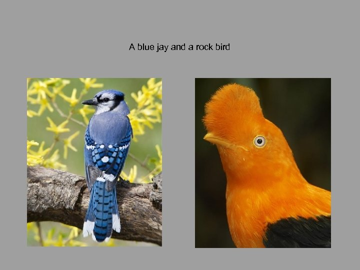 A blue jay and a rock bird