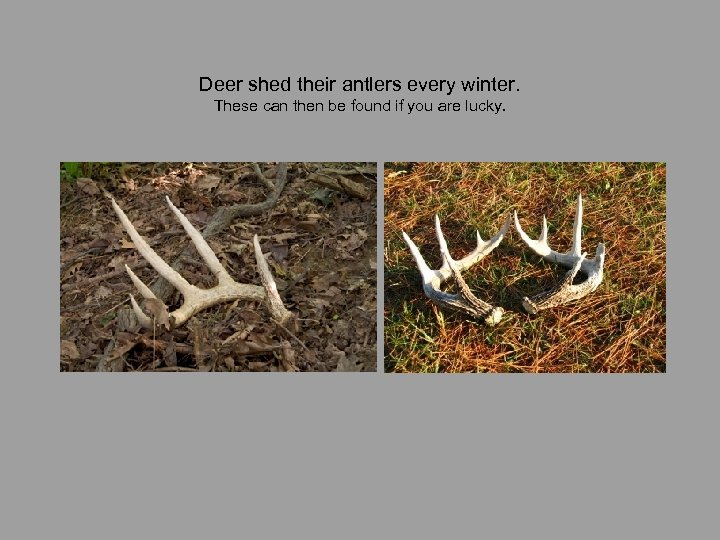 Deer shed their antlers every winter. These can then be found if you are