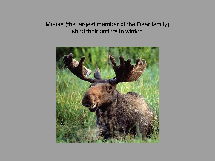 Moose (the largest member of the Deer family) shed their antlers in winter.