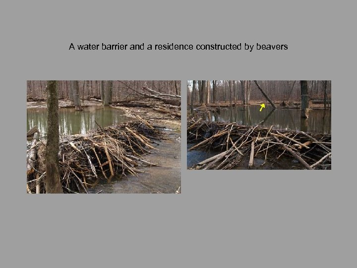 A water barrier and a residence constructed by beavers