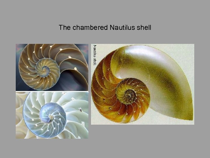 The chambered Nautilus shell