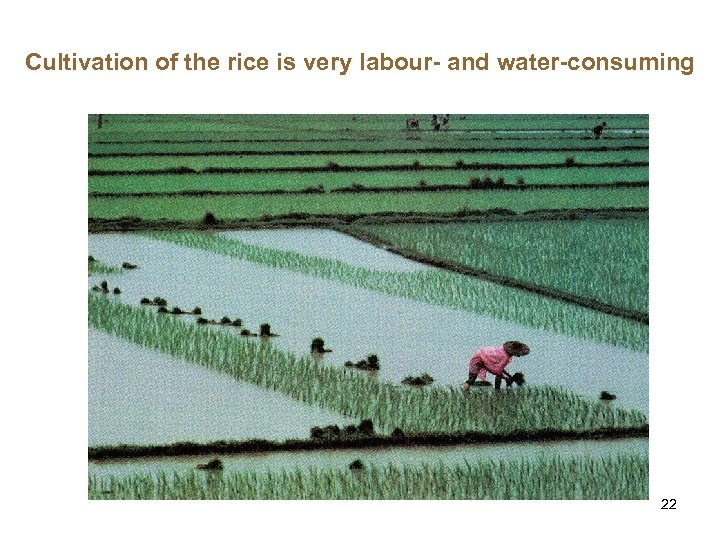 Cultivation of the rice is very labour- and water-consuming 22