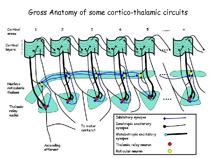 Gross Anatomy of some cortico-thalamic circuits