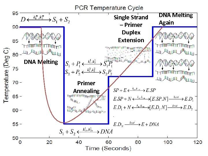 Single Strand – Primer Duplex Extension DNA Melting Again DNA Melting Primer Annealing 3/19/2018