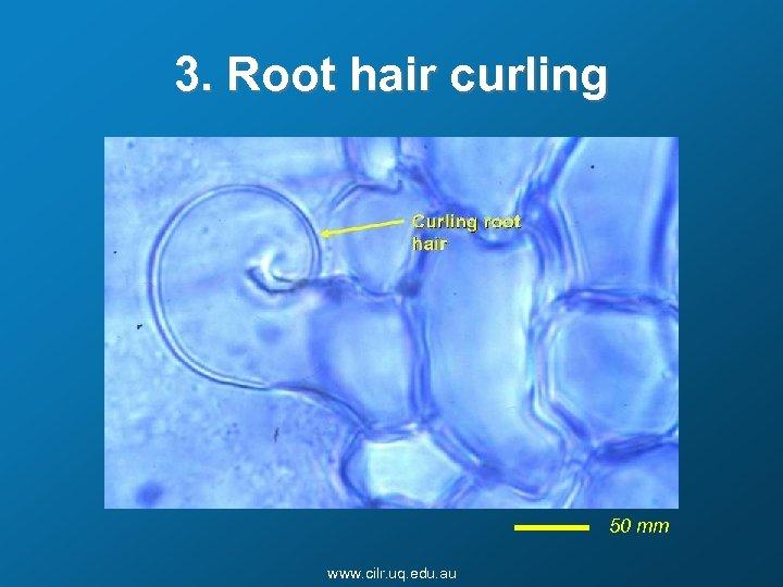 3. Root hair curling 50 mm www. cilr. uq. edu. au
