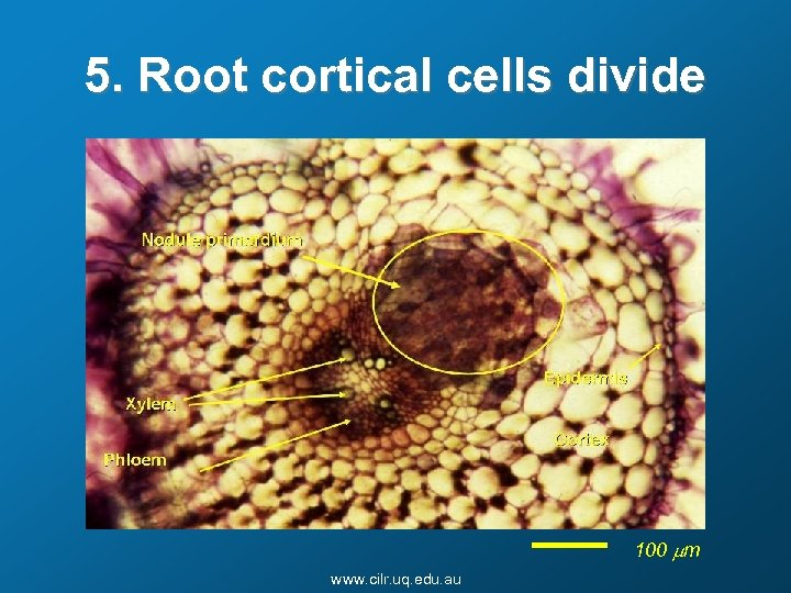 5. Root cortical cells divide 100 mm www. cilr. uq. edu. au