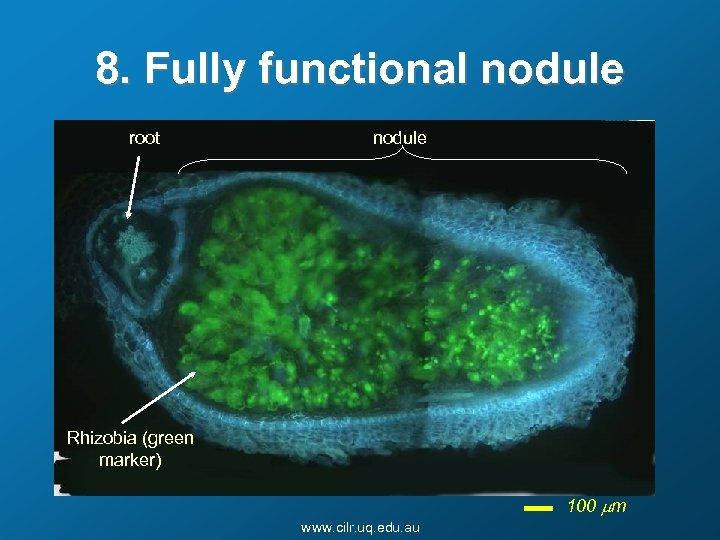 8. Fully functional nodule root nodule Rhizobia (green marker) 100 mm www. cilr. uq.