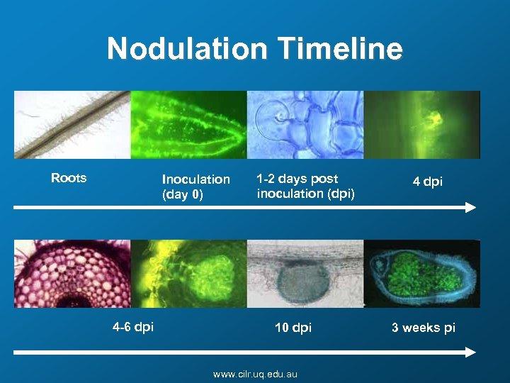 Nodulation Timeline Roots Inoculation (day 0) 4 -6 dpi 1 -2 days post inoculation