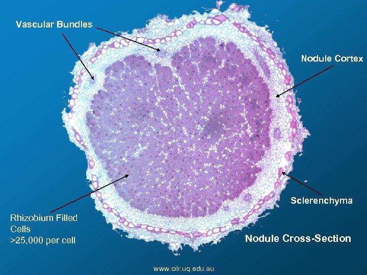 Vascular Bundles Nodule Cortex Sclerenchyma Rhizobium Filled Cells >25, 000 per cell Nodule Cross-Section