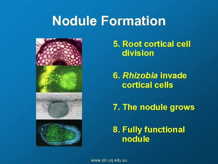 Nodule Formation 5. Root cortical cell division 6. Rhizobia invade cortical cells 7. The