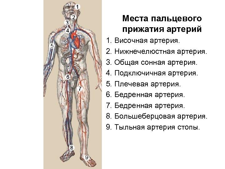 Места пальцевого прижатия артерий 1. Височная артерия. 2. Нижнечелюстная артерия. 3. Общая сонная артерия.