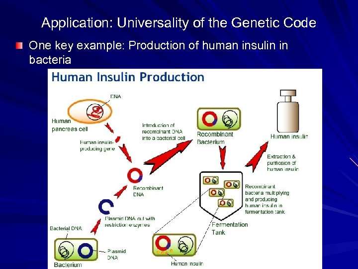 Application: Universality of the Genetic Code One key example: Production of human insulin in