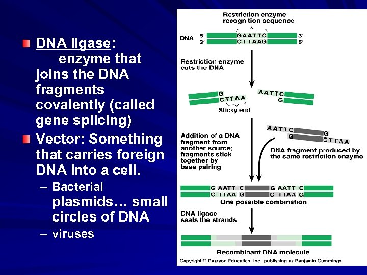 DNA ligase: enzyme that joins the DNA fragments covalently (called gene splicing) Vector: Something