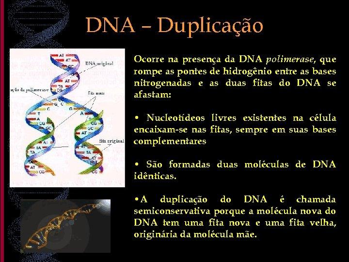 DNA – Duplicação Ocorre na presença da DNA polimerase, que rompe as pontes de