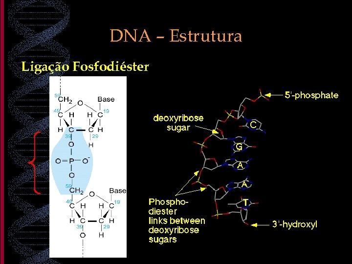 DNA – Estrutura Ligação Fosfodiéster