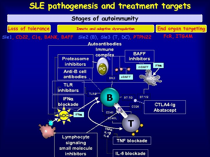 SLE pathogenesis and treatment targets Stages of autoimmunity Loss of tolerance End organ targeting