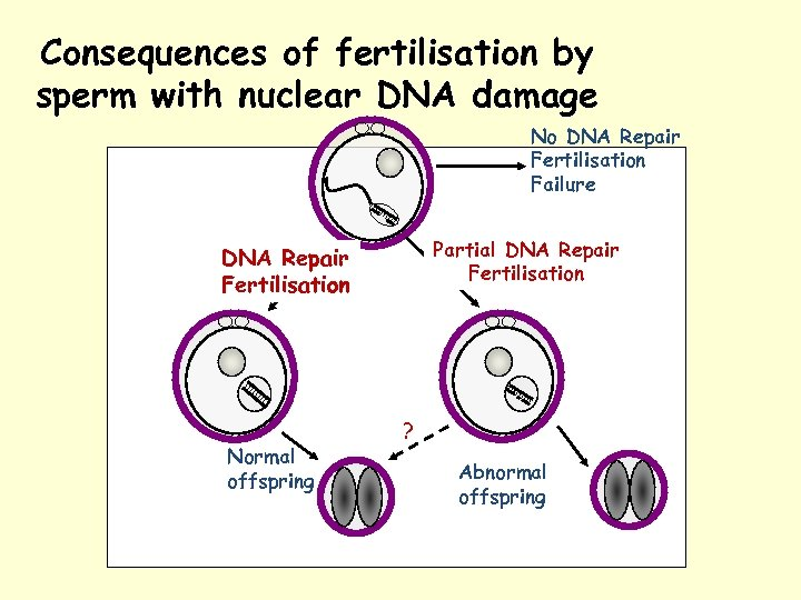 Consequences of fertilisation by sperm with nuclear DNA damage No DNA Repair Fertilisation Failure