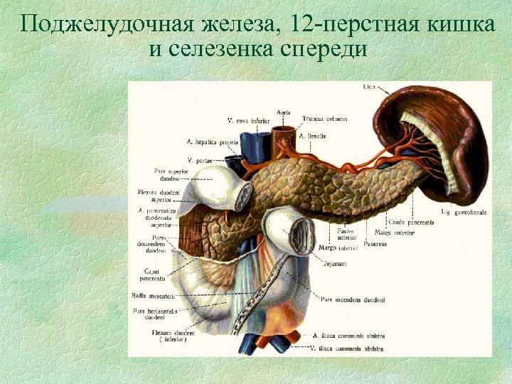 Поджелудочная железа, 12 -перстная кишка и селезенка спереди