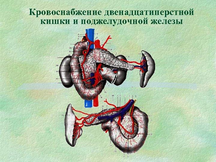 Кровоснабжение двенадцатиперстной кишки и поджелудочной железы
