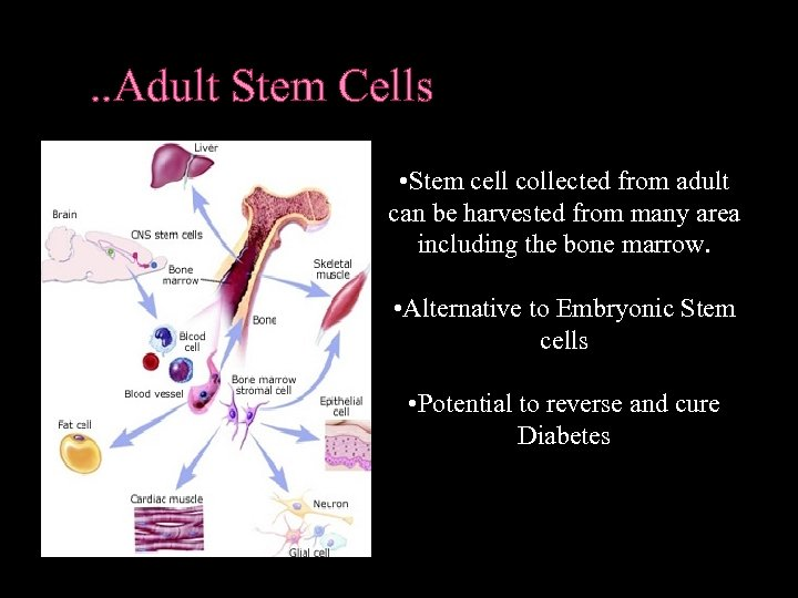 . . Adult Stem Cells • Stem cell collected from adult can be harvested