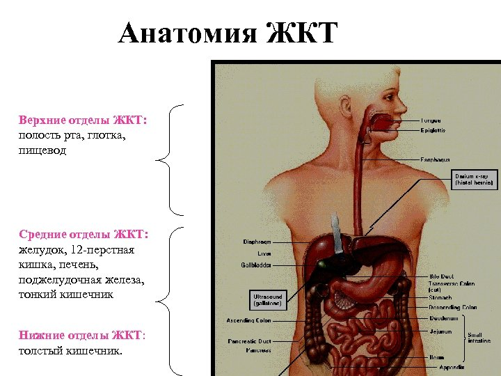 Анатомия ЖКТ Верхние отделы ЖКТ: полость рта, глотка, пищевод Средние отделы ЖКТ: желудок, 12