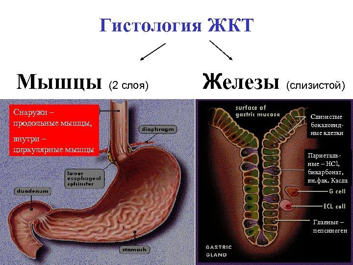 Гистология ЖКТ Мышцы (2 слоя) Снаружи – продольные мышцы, внутри – циркулярные мышцы Железы