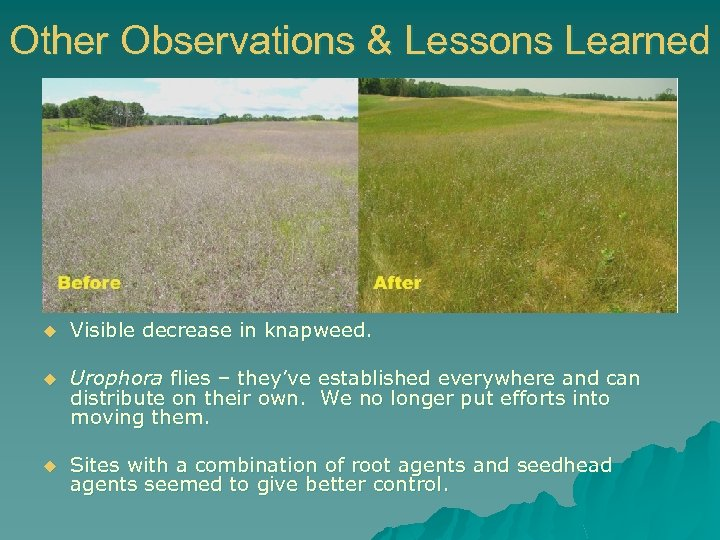 Other Observations & Lessons Learned u Visible decrease in knapweed. u Urophora flies –