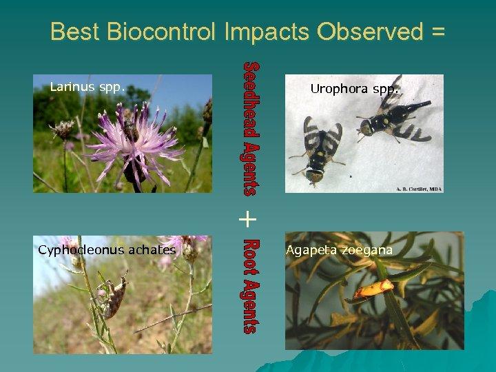 Best Biocontrol Impacts Observed = Larinus spp. Urophora spp. + Cyphocleonus achates Agapeta zoegana