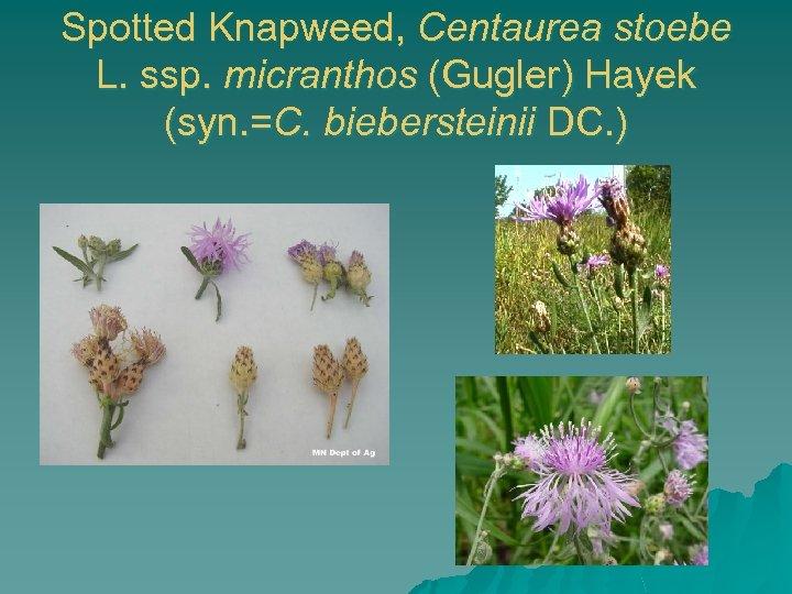 Spotted Knapweed, Centaurea stoebe L. ssp. micranthos (Gugler) Hayek (syn. =C. biebersteinii DC. )