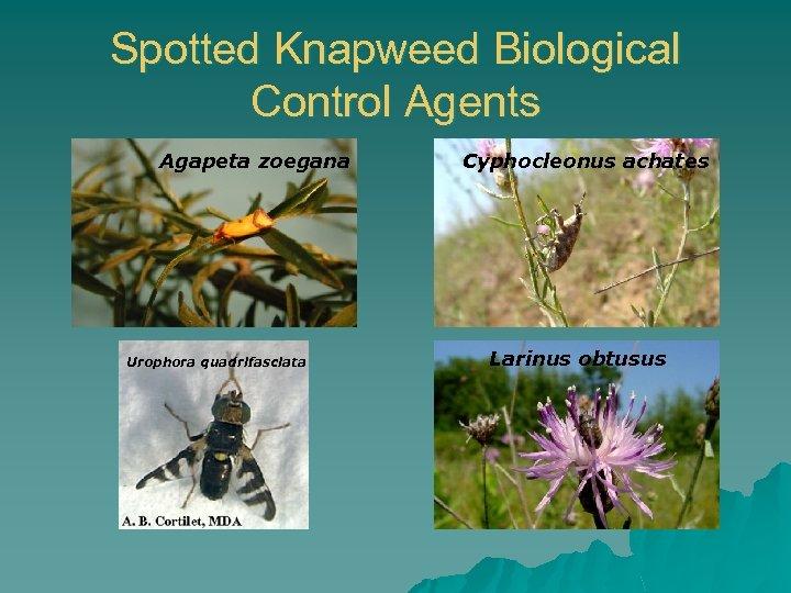 Spotted Knapweed Biological Control Agents Agapeta zoegana Urophora quadrifasciata Cyphocleonus achates Larinus obtusus
