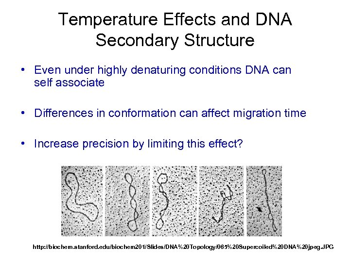 Temperature Effects and DNA Secondary Structure • Even under highly denaturing conditions DNA can