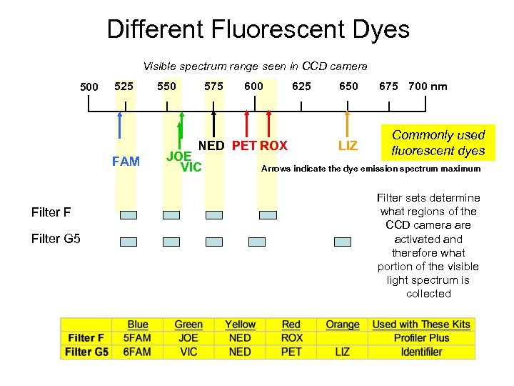 Different Fluorescent Dyes Visible spectrum range seen in CCD camera 500 525 550 575