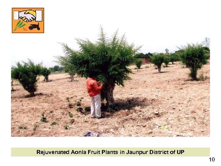 Rejuvenated Aonla Fruit Plants in Jaunpur District of UP 10