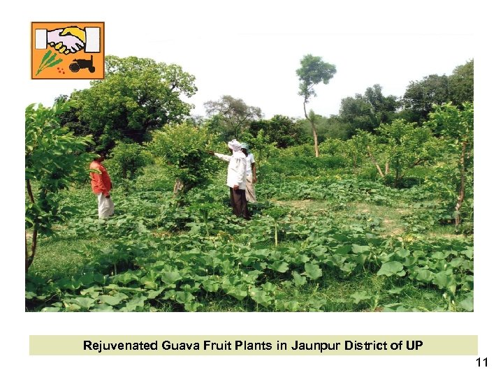 Rejuvenated Guava Fruit Plants in Jaunpur District of UP 11