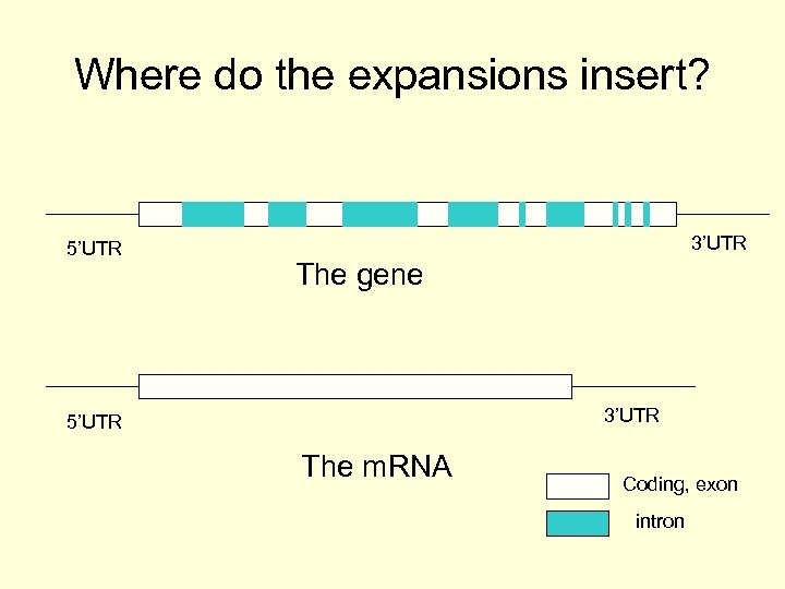 Where do the expansions insert? 5'UTR 3'UTR The gene 3'UTR 5'UTR The m. RNA