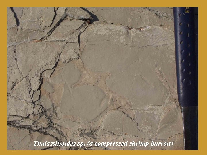Thalassinoides sp. (a compressed shrimp burrow)