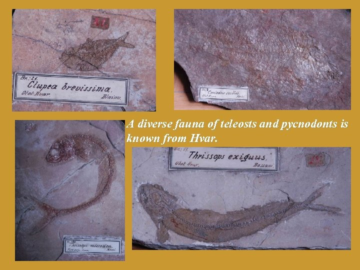A diverse fauna of teleosts and pycnodonts is known from Hvar.