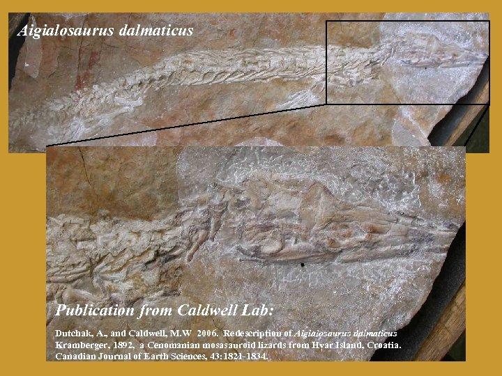 Aigialosaurus dalmaticus Publication from Caldwell Lab: Dutchak, A. , and Caldwell, M. W 2006.
