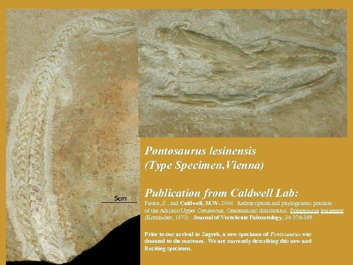 Pontosaurus lesinensis (Type Specimen, Vienna) Publication from Caldwell Lab: Pierce, S. , and Caldwell,